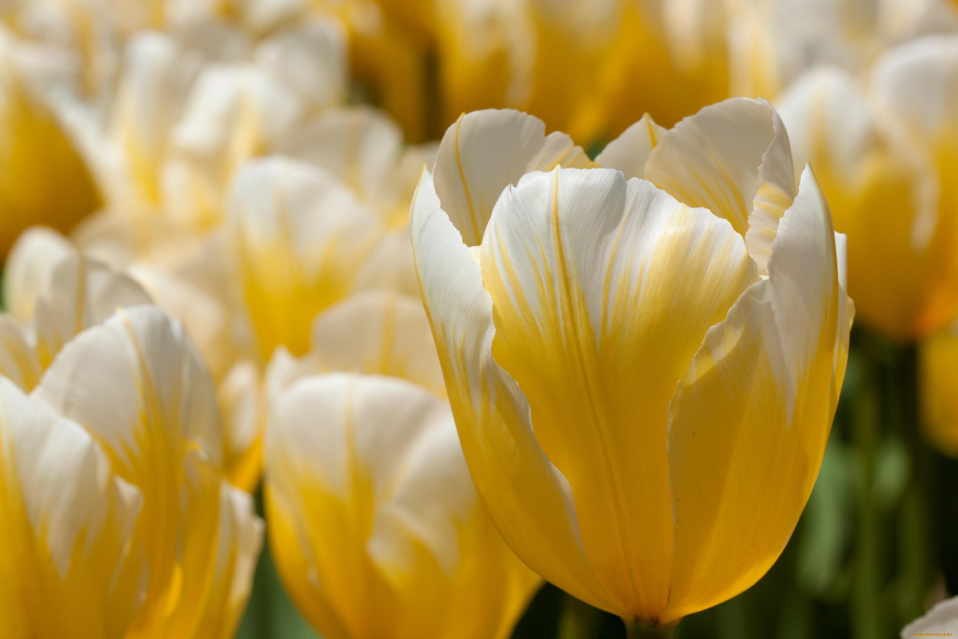 лимонные тюльпаны фото бумагу